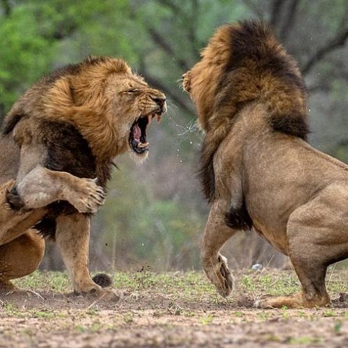 lion-fight